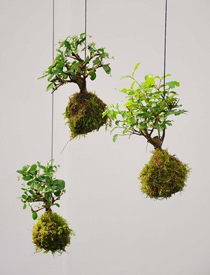 3er Set Kokedama (Moosball) Bonsai