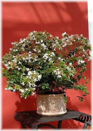 Abelie Abelia x grandiflora