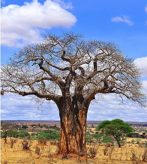 Affenbrotbaum (Giant Baobab)i - Adansonia grandidier