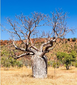 Affenbrotbaum (kleiner Baobab) - Adansonia rubrostipa