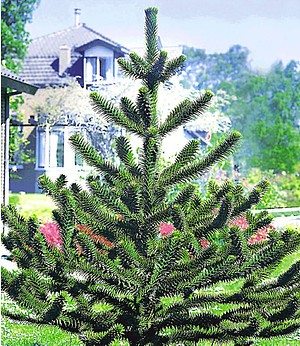 Affenschwanz-Baum,1 Pflanze