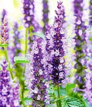 "Agastache ""Little Adder"",2 Knollen"