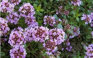 AllgäuStauden Aromatischer Kaskaden-Thymian Thymus longicaulis ssp. odoratus