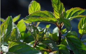 AllgäuStauden Bergamotte-Minze Mentha x piperita var. citrata 'Bergamotte'