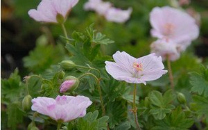 AllgäuStauden Blut-Storchschnabel Geranium sanguineum 'Apfelblüte'