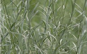 AllgäuStauden Currykraut Helichrysum italicum 'Silbernadel'