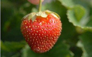 AllgäuStauden Dauertragende Erdbeere Fragaria x vescana 'Parfum® Ewigi Liebi®'