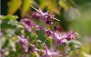 AllgäuStauden Elfenblume Epimedium grandiflorum 'Lilafee'