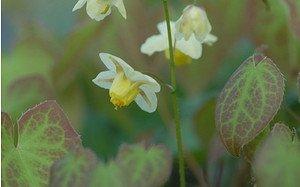 AllgäuStauden Elfenblume Epimedium x versicolor 'Sulphureum'