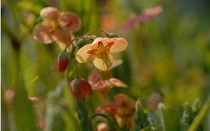 AllgäuStauden Elfenblume Epimedium x warleyense 'Orangekönigin'