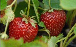 AllgäuStauden Erdbeere Fragaria x ananassa 'Malwina' ®