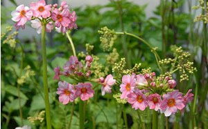 AllgäuStauden Etagen-Primel Primula japonica'Appleblossom'