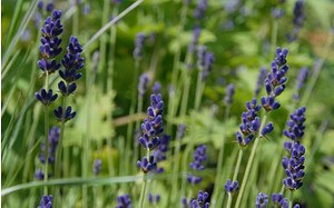 AllgäuStauden Garten-Lavendel Lavandula angustifolia 'Hidcote Blue'