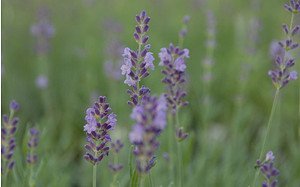 AllgäuStauden Garten-Lavendel Lavandula angustifolia 'Lumiére des Alpes'