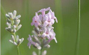 AllgäuStauden Garten-Lavendel Lavandula angustifolia 'Miss Katherine'