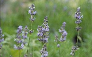 AllgäuStauden Garten-Lavendel Lavandula angustifolia 'Munstead'