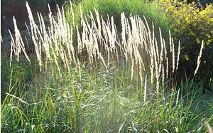 AllgäuStauden Garten-Reitgras Calamagrostis x acutiflora 'Karl Foerster'