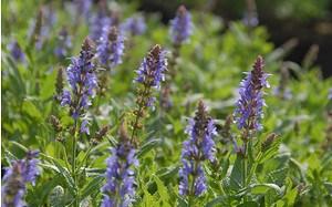 AllgäuStauden Garten-Salbei Salvia nemorosa 'Blauhügel'