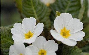 AllgäuStauden Garten-Teppich-Primel Primula Wanda-Hybride 'Wanda Gemischte Farben'