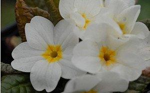 AllgäuStauden Garten-Teppich-Primel Primula Wanda-Hybride 'Wanda Weiß'