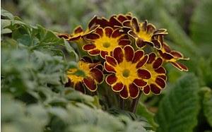 AllgäuStauden Gesäumte Primel Primula Elatior-Hybr. 'Victorian Laced Primroses'