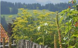 AllgäuStauden Gewürz-Fenchel Foeniculum vulgare