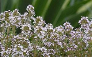 AllgäuStauden Gewürz-Thymian Thymus vulgaris'Compactus'