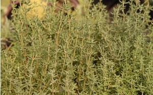 AllgäuStauden Gewürz-Thymian Thymus vulgaris'Fleur Provencale'