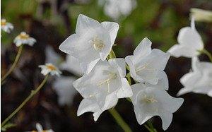 AllgäuStauden Glockenblume Campanula persicifolia 'Grandiflora Alba'