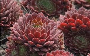 AllgäuStauden Hauswurz Sempervivum Hybride 'Pacific Red Tide'