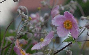 AllgäuStauden Herbst-Anemone Anemone tomentosa 'Robustissima'