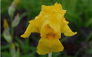 AllgäuStauden Hohe Bart-Iris Iris barbata-elatior 'Ola Kala'