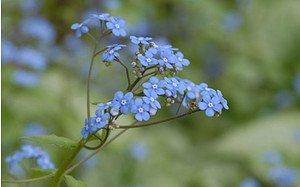 AllgäuStauden Kaukasus-Vergissmeinnicht Brunnera macrophylla