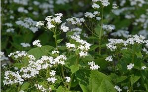 AllgäuStauden Kaukasus-Vergissmeinnicht Brunnera macrophylla 'Betty Bowring'