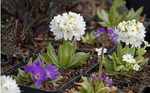 AllgäuStauden Kugel-Primel Primula denticulata 'Ronsdorfer Hybriden'