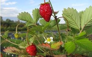 AllgäuStauden Monats-Erdbeere Fragaria vescavar. semperfl. 'Alexandria'