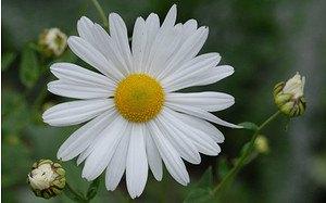AllgäuStauden Oktober-Margerite Leucanthemella serotina 'Herbststern'