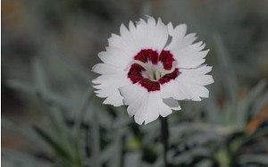 AllgäuStauden Pfingst-Nelke Dianthus gratianopolitanus 'Starry Eyes'