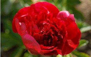 AllgäuStauden Pfingstrose Paeonia Hybride 'Red Charm'