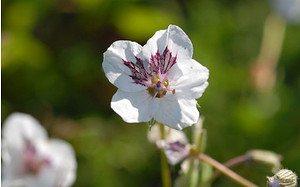 AllgäuStauden Reiherschnabel Erodium guttatum