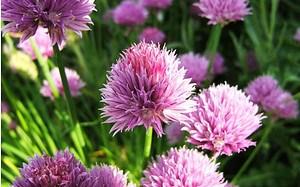 AllgäuStauden Schnitt-Lauch Allium schoenoprasum