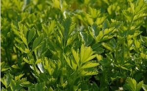 AllgäuStauden Schnitt-Sellerie Apium graveolens var. secalinum 'Gewöhnl. Schnitt'