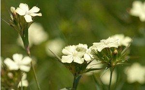 AllgäuStauden Schwefel-Nelke Dianthus knappii