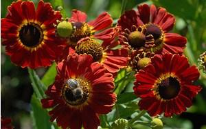 AllgäuStauden Sonnenbraut Helenium Hybride 'Königstiger'