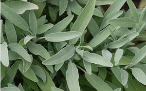 AllgäuStauden Spanischer Salbei Salvia lavandulifolia