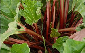 AllgäuStauden Speise-Rhabarber Rheum rhabarbarum 'Canada Red'