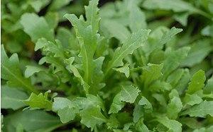 AllgäuStauden Stauden-Rucola Diplotaxis tenuifolia