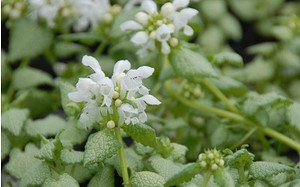 AllgäuStauden Taubnessel Lamium maculatum 'White Nancy'