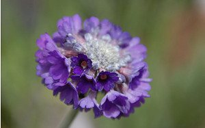 AllgäuStauden Tibet-Primel Primula capitata ssp. mooreana