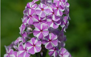 AllgäuStauden Wiesen-Phlox Phlox maculata 'Natascha'
